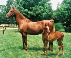 Horse breed of the week the American Saddlebred - Lexington horses ...