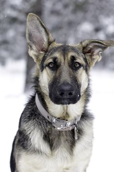 Wicked Training Your German Shepherd Dog Ideas. Mind Blowing Training Your German Shepherd Dog Ideas. Baby Dogs, Pet Dogs, Dogs And Puppies, Dog Cat, Doggies, Shetland Sheepdog, German Shepherd Dogs, Australian Shepherd, German Shepherds