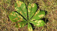 Schuld am Massensterben sind zwei Schädlinge. Die Miniermotte wurde erstmals 1984 in Mazedonien an Kastanien entdeckt und breitete sich seitdem in ganz Europa aus. Sie frisst sich durch die Blätter des Baums. Der andere, weitaus gefährlichere Schädling, ist das Bakterium Pseudomonas. Es befällt die Rinde der Rosskastanie und lässt sie abfaulen. Die offenen Stellen werden dann von Pilzen befallen, was in den meisten Fällen das Ende des Baums bedeutet.
