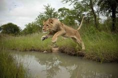 female luon photo pounce - Yahoo Search Results