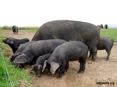 You've made the decision to raise hogs for survival. You've lined everything up. You're ready to go. Except something is still missing, you need to buy some hogs. Large Black Pig, Black Pigs, Hampshire Pig, Red River Hog, Berkshire Pigs, Hog Pig, Pig Images, Pig Breeds, Small Pigs