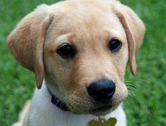 Benji the Labrador Retriever Pictures