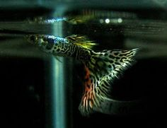 Tropical Fish Pictures: Is Guppy The Result of Genetic Engineering? - My Tropical Fish Secrets and Pictures Gallery of Exotic Ornamental Fish Photos Collection Guppy, Pretty Fish, Beautiful Fish, Tropical Fish Pictures, Under The Ocean, Salt Water Fish, Freshwater Aquarium Fish, Fish Illustration, Water Life