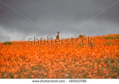 A Springbok ram stands on top of a ridge carpeted with orange Namaqua Daisies as a storm rolls across the Namaqualand in Southern Africa - Shutterstock Premier