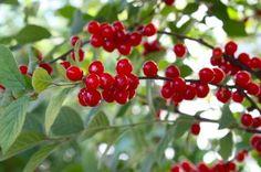 Nan King Cherry Jelly