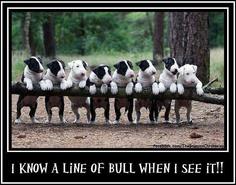 A line of bull...@Loveowleyes!