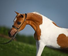 Miniature Mares over 2 for Sale from top US breeders