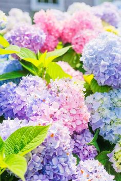 Nantucket blooming hydrangeas At Home Gardening and Landscaping Around The House Nantucket Hydrangeas Hydrangea Bouquet Wedding, Hydrangea Bush, Hydrangea Not Blooming, Hydrangea Flower, My Flower, Flowers Nature, Spring Flowers, Amazing Flowers, Beautiful Flowers