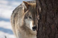 wolves lakota-012 by dfbphotos, via Flickr