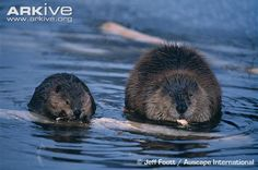 The natural range of the American Beaver extends throughout much of North America, with the exception of peninsular Florida, the southwestern deserts, and the Arctic tundra. Its habitat occurs near streams, ponds and lakes. (39 photos & 4 videos)