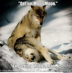 moon moon wolf - Google Search