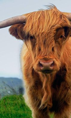 Highland cows are the cutest cows ever! I will have them.