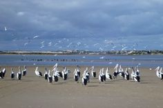 Pelicans at the Murray mouth Murray River, South Australia, Hummingbirds, Finals, Southern, How To Plan, Country, Friends, Beach