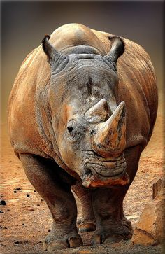 Rhino by Phil Cousins / Majestic Animals, Rare Animals, Jungle Animals, Animals Beautiful, Animals And Pets, Funny Animals, Cute Animal Photos, Animal Pictures, Animals Photos