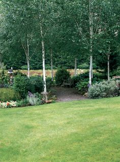The grove of Himalayan birch (Betula utilis var. jacquemontii), underplanted with shade-loving shrubs and perennials; the Orphan Garden beyond is now blocked from view. Photographs by Allan Mandell, except as noted