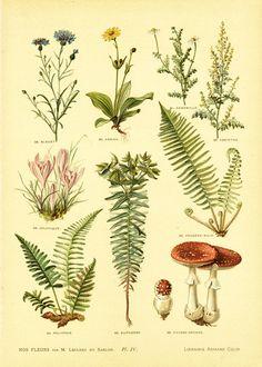 https://www.etsy.com/fr/listing/238256453/1906-plantes-medicinales-gravure?ref=shop_home_active_23