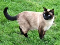 Lost Seal Point Siamese female cat in ENFIELD in the area of Raffia Rd,Barrett Rd & South Rd on 7/20/2015, She is 6 yrs old with blue eyes. Any information,pls. call Nora 203-308 1133 or send email to: noralukan@hotmail.com