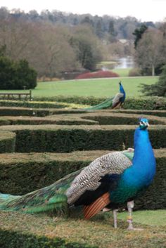 Exploring the gardens of Warwick Castle and meeting their lovely peacocks <3 stunning colours and scenery.