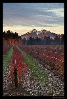 Golden Ears - View from Blueberry field in Fort Langley