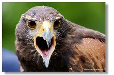 Riegersburg Bald Eagle, Animals, Photos, Animais, Animales, Animaux, Animal