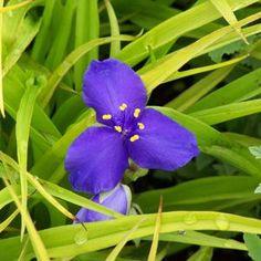 TRADESCANTIA 'Sweet Kate' - Ephémère - Spiderwort