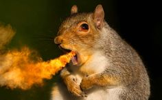 the scourge of the 11th century europe, fire breathing squirrels...