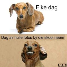 Dear Abby - Dachshund Memes and Pictures : Dachshund meme - school picture day Funny Pictures For Kids, School Pictures, Funny Animal Pictures, Funny Kids, Funny Animals, Cute Animals, School Pics, Stupid Animals, School Daze