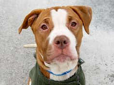 TO BE DESTROYED - 02/22/15 Manhattan Center   My name is PRINCE. My Animal ID # is A1027863. I am a male red and white am pit bull ter mix. The shelter thinks I am about 4 YEARS old.  I came in the shelter as a STRAY on 02/12/2015 from NY 11221, owner surrender reason stated was STRAY. https://www.facebook.com/photo.php?fbid=962753220404224