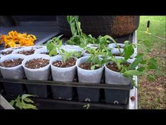 How To Clone Tomatoes For FREE Fall Tomato Plants - YouTube