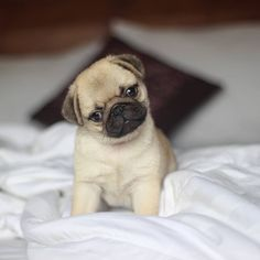 Since Join the Pugs bring the cuteness to Pug lovers all over the world. If you love Pugs. you'll love our website and social media. Cute Pug Puppies, Cute Pugs, Cute Funny Animals, Cute Baby Animals, Animals And Pets, Cute Animal Videos, Cute Animal Pictures, Pug Love, I Love Dogs