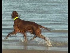"""Irish setter """"I love to boogie"""" by Girly"""