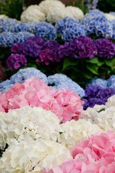 Hydrangeas: In general the hydrangea stands for friendship, devotion, and understanding.