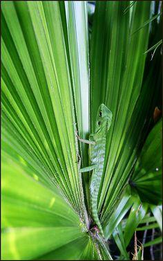 A cool lizard seen in Bandar Seri Begawan, Brunei. Possibly a Crested Garden Lizard? Amphibians, Reptiles, Brunei Travel, Bandar Seri Begawan, World Travel Guide, Foliage Plants, Borneo, Saudi Arabia, Plan Your Trip