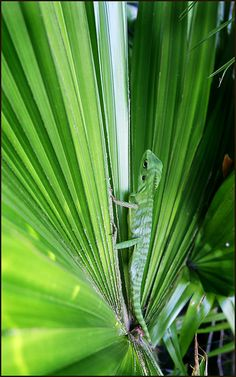 Brunei Lizard