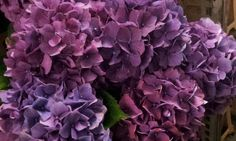 #Hydrangea #PurpleHaze; Available at www.barendsen.nl