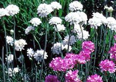 Sea Thrift - mall, mounded, grassy-leaved plants bear striking, rounded clusters of pink or white flowers on erect, wiry stems. Great for rock gardens and front of the border. Tolerates poor but well-drained soil.