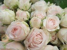 Moonstone Gem Garden Spray Roses | Wholesale Flowers & DIY Wedding Flowers Rose Garden Design, Pink Garden, Colorful Flowers, Pink Flowers, Blush Roses, Blush Pink, Growing Roses, Diy Wedding Flowers, Blooming Rose
