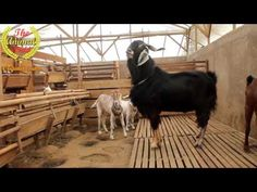 The most exciting mating goat, a large black male with a petite female, exclaimed the point - YouTube