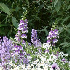 Angelonia Angelface Wedgewood Blue - Angélonia bleu violet pâle