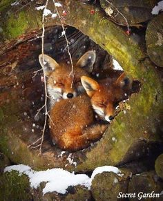 Have a great day :) -Everythingfox: Have a great day :) - Red Fox by nhlagbril on You know that fox is admiring & embracing that gentle touch of snow. Dormice, Cute: More *~ Red Fox cubs ~* Photo by: Jim Zuckerman Time To Take . Nature Animals, Animals And Pets, Baby Animals, Funny Animals, Cute Animals, Animals In Winter, Animals In Snow, Wild Animals Photos, Strange Animals