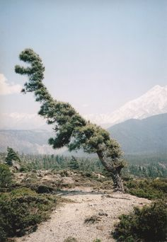 Dinosaur tree | I had many tree friends I saw at night on my way home from work.... Juniper Trees have Personality  ;D