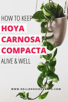 Get tips for keeping your Hoya carnosa compacta aka Hoya Hindu rope alive and well. Hoya Plants, Cactus Plants, Indoor Cactus, Cactus Art, Indoor Plants Names, Hanging Plants, Planting Succulents, Planting Flowers, Hindu Rope Plant