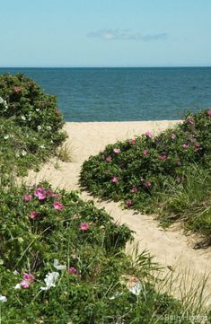 Beach path lined with Rugosa Roses.  Photo by Beth Higgins,  Beth Higgins Fine Art Photography  www.bethhiggins.com