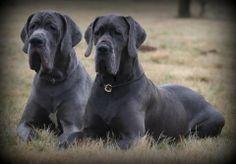 Willkommen - Deutsche Doggen vom Nassauer Land