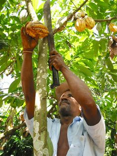 Harvesting cacao pods under the forest canopy.