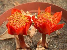 Haemanthus pubescens