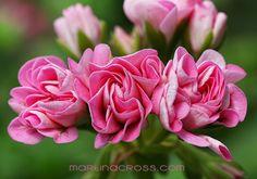 Pelargonium – Pelargonie Swanland Pink