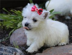 Andy Pups Paradise Highlands Terrier, West Highland Terrier, Crochet Dog Sweater, Paradise, This Is Us, Puppies, Dogs, Animals, Cubs
