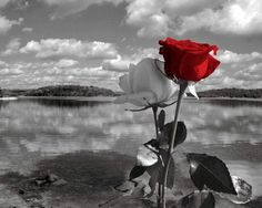 Black White Red Rose Lake Landscape Photography Wall Art Home Decor Matted Picture White Rose Flower, White And Pink Roses, Purple Roses, Rose Flowers, Splash Photography, Rose Photography, Landscape Photography, Black White Photos, Black And White Colour