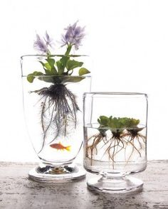 Use an interesting clear glass container for a water garden that doubles as a beautiful decoration. These water plants get their nutrients from water and require no soil to thrive.: